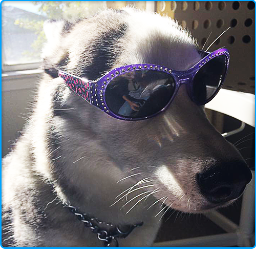 Husky with Sunglasses